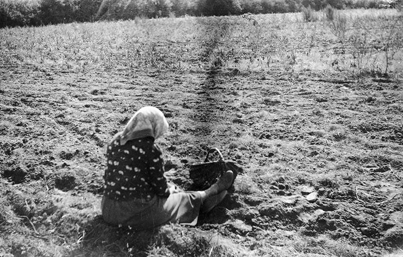 Zbieranie ziemniaków, Brzózka, Dolny Śląsk, 2. poł. XX w.