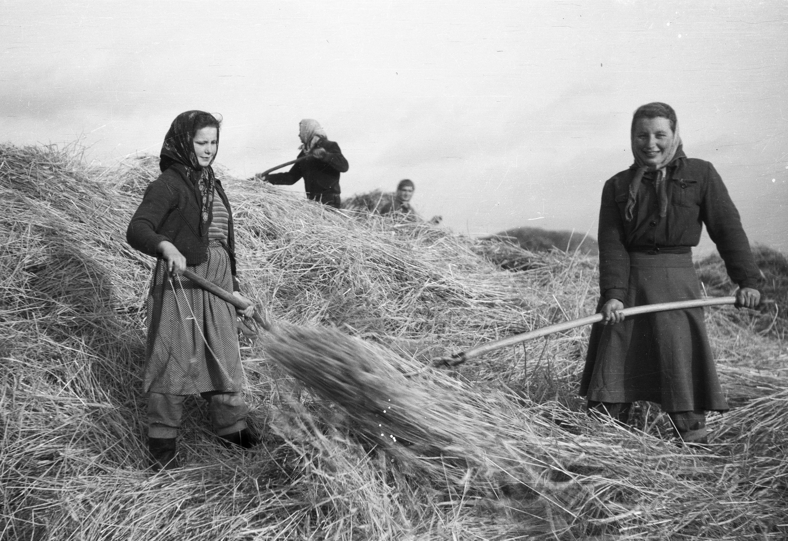 Młocka w Państwowym Gospodarstwie Rolnym, Brzózka, Dolny Śląsk, 1957 r.