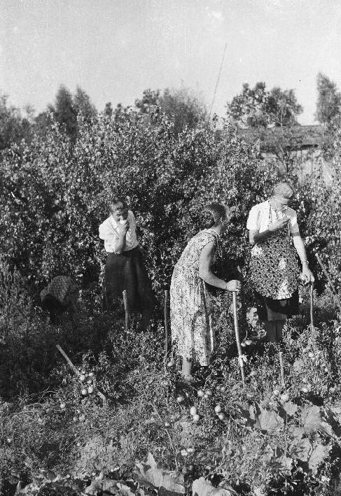 Praca przy pomidorach, od lewej: Kasia, Basia i Jadzia, Brzózka, Dolny Śląsk, lata 50. XX w.