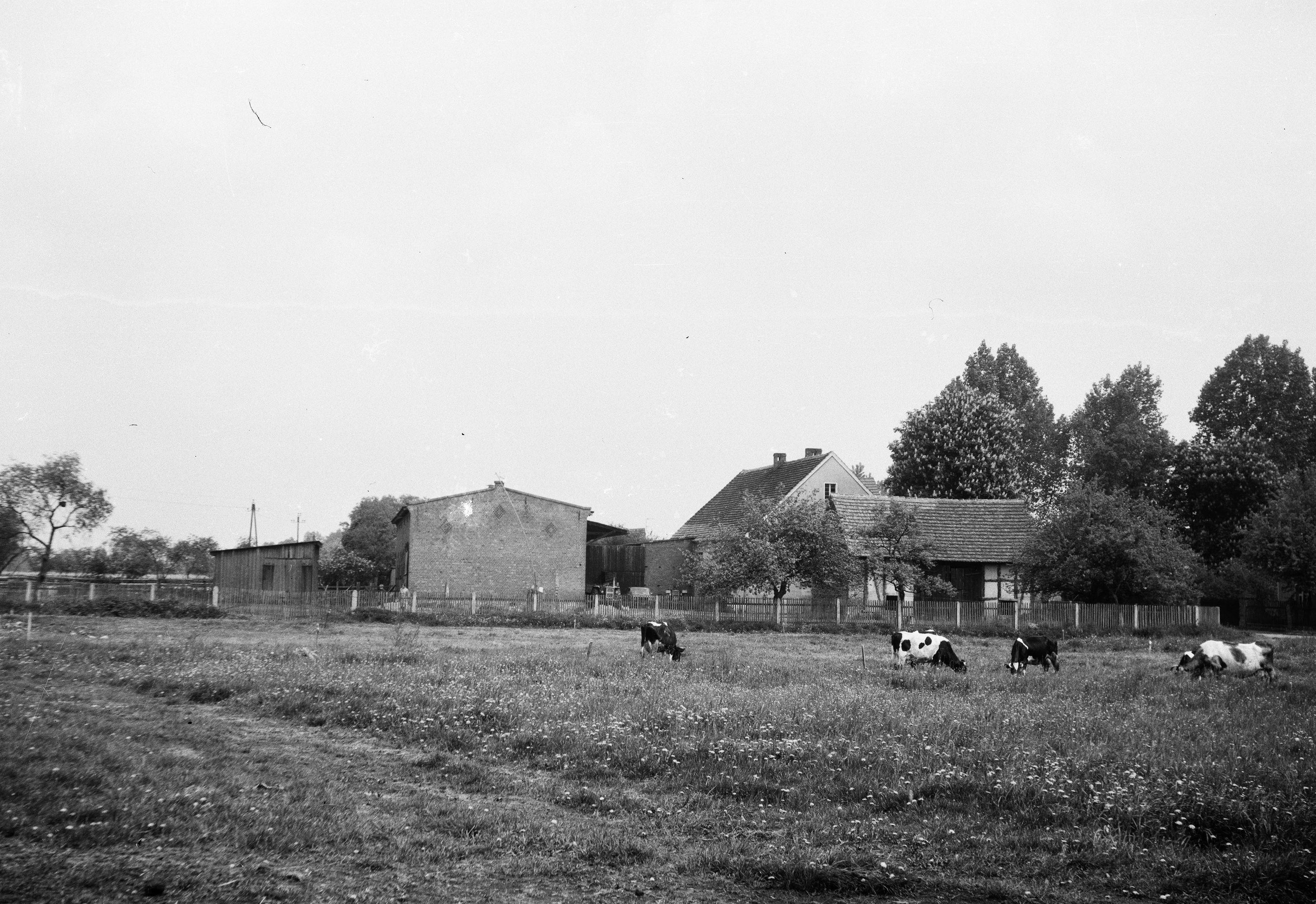 Krowy na łące, Brzózka, Dolny Śląsk, lata 80. XX w.
