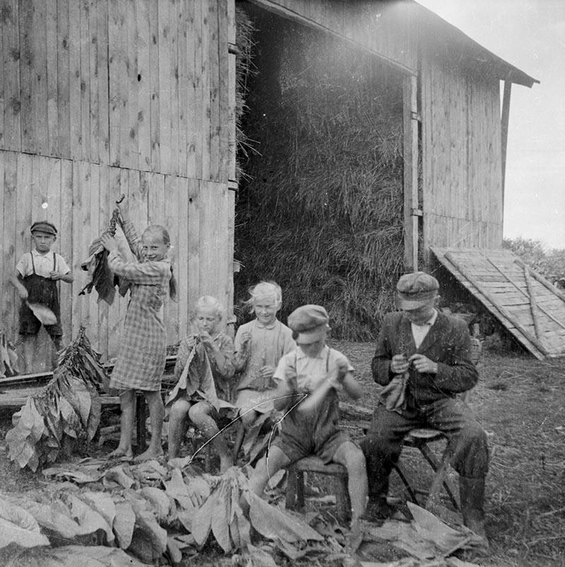 Suszenie tytoniu, Brzózka, Dolny Śląsk, koniec lat 50. XX w.